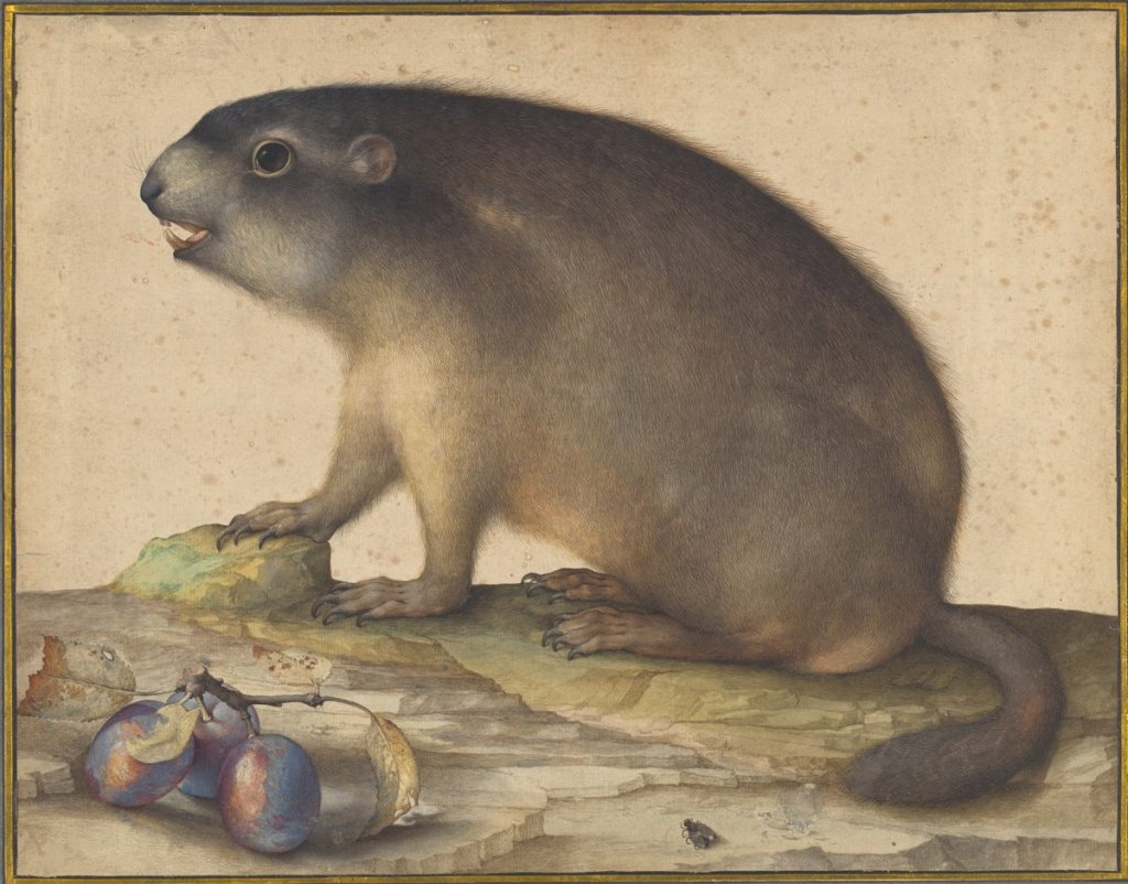 Jacopo Ligozzi, A Marmot with a Branch of Plums, 1605. Courtesy The National Gallery of Art, Washington.